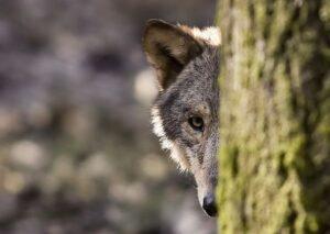 Vilkas žvelgia iš už medžio.