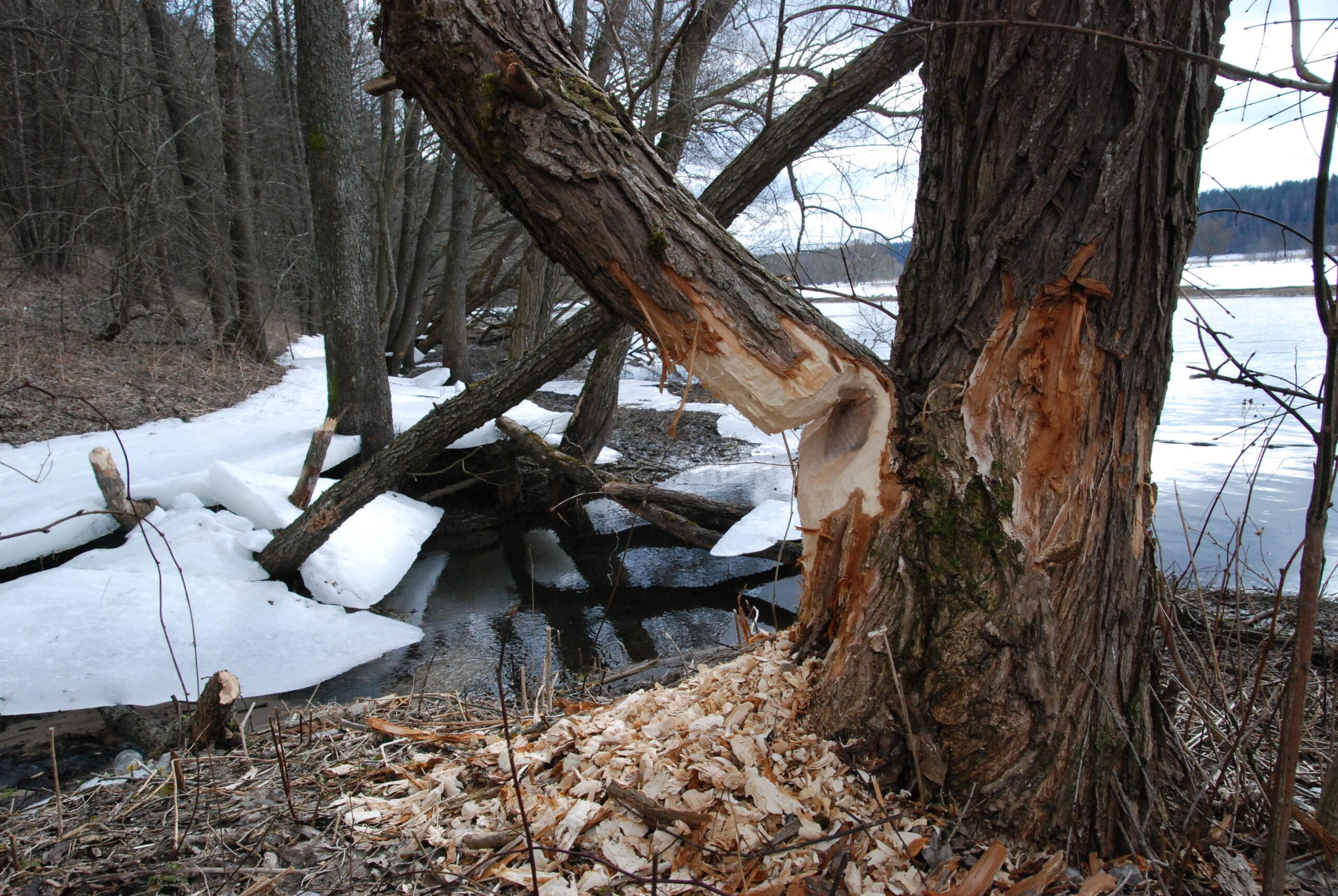 Nugraužtas medis.