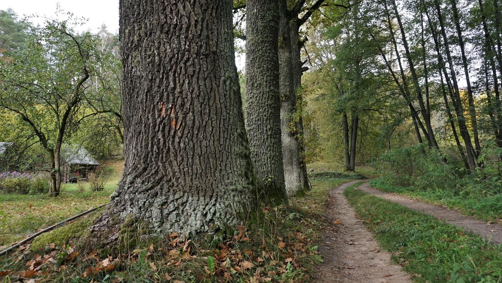 Stori medžių kamienai.