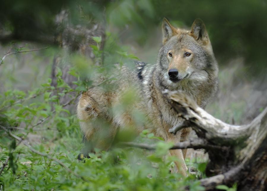 Vilkas miške.