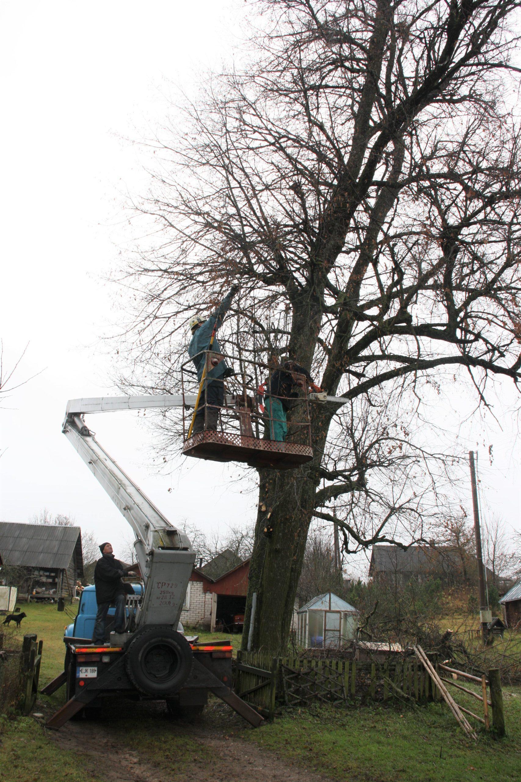 Žmonės su keltuvu prie medžio.