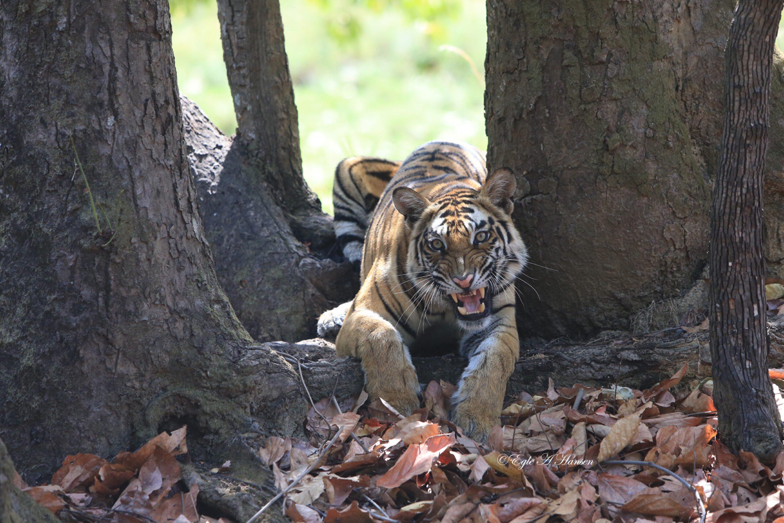 Tigras.