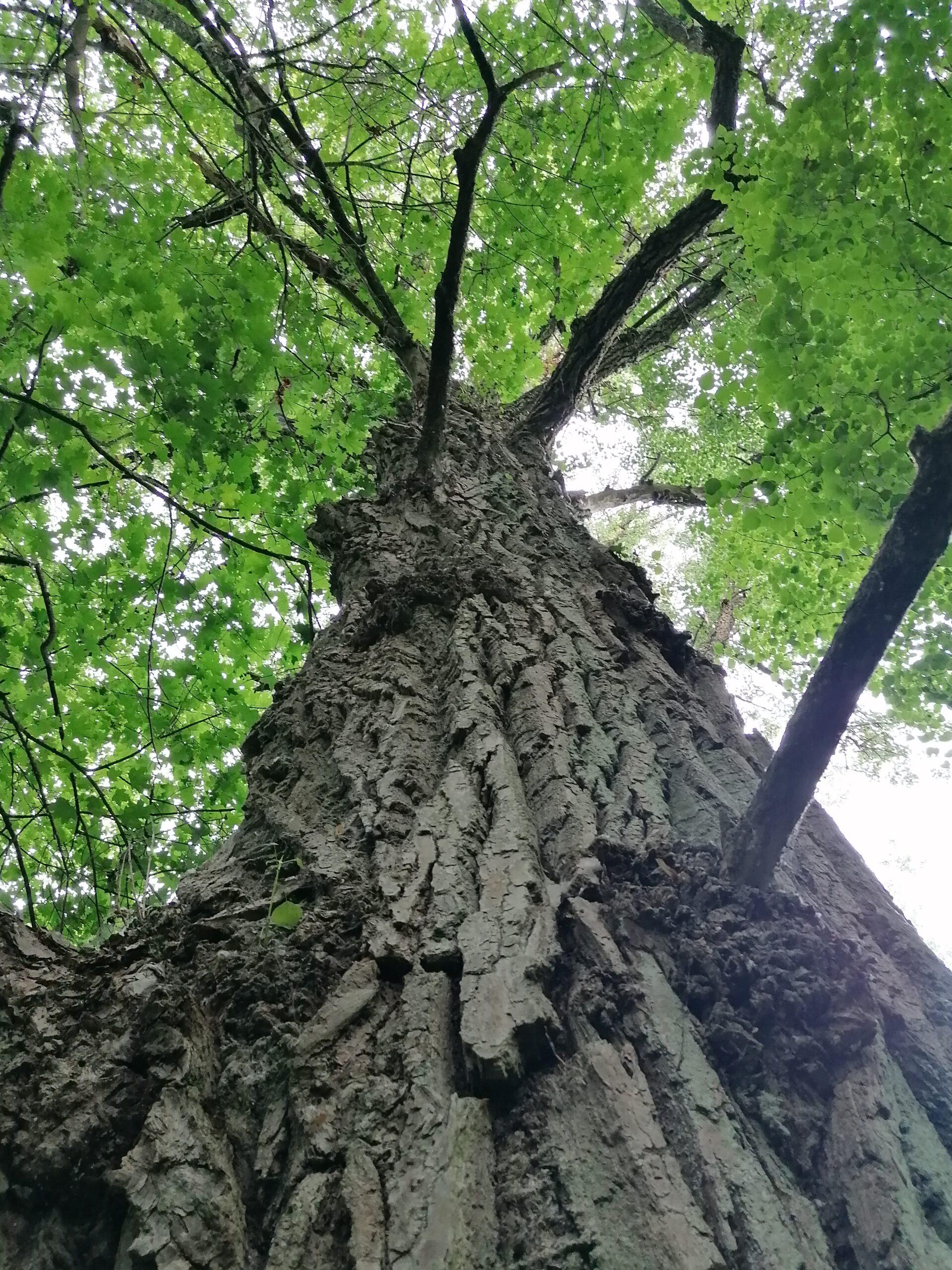 Storas medžio kamienas.