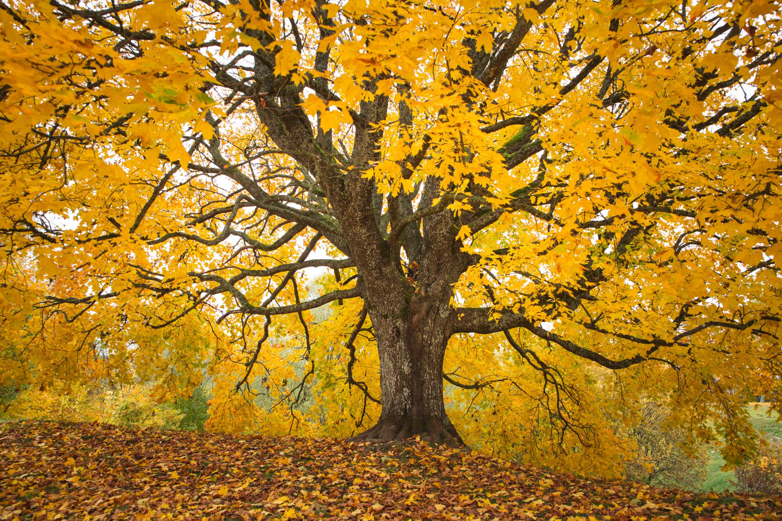 Klevas geltonais lapais.