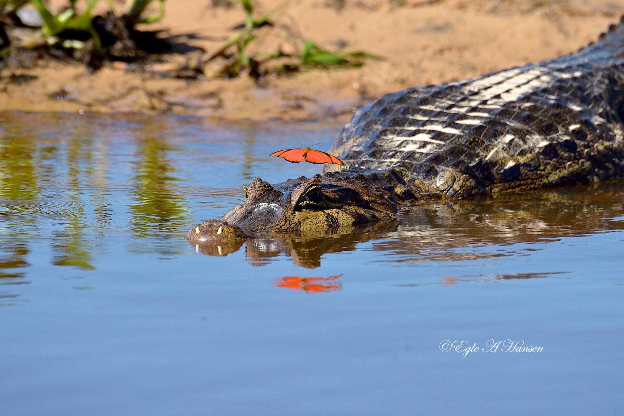 Krokodilas upėje.