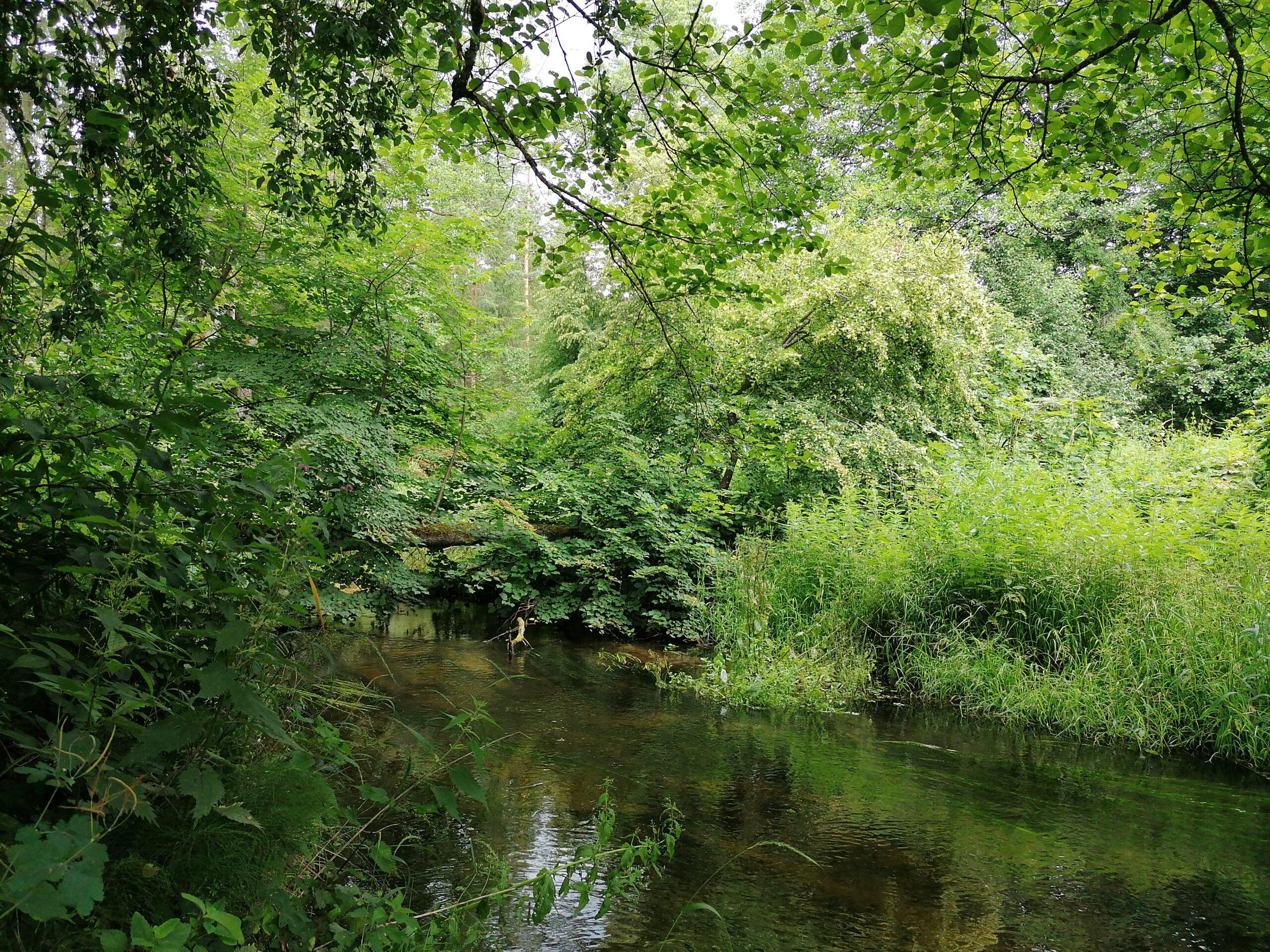 Liepa kaip tiltas per upę miške.
