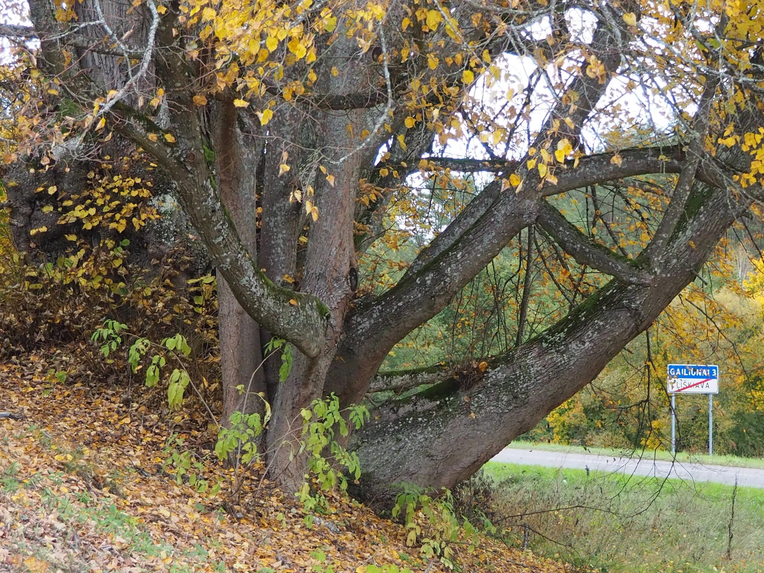 Liepa su daug kamienų ir nugeltusiais lapais.