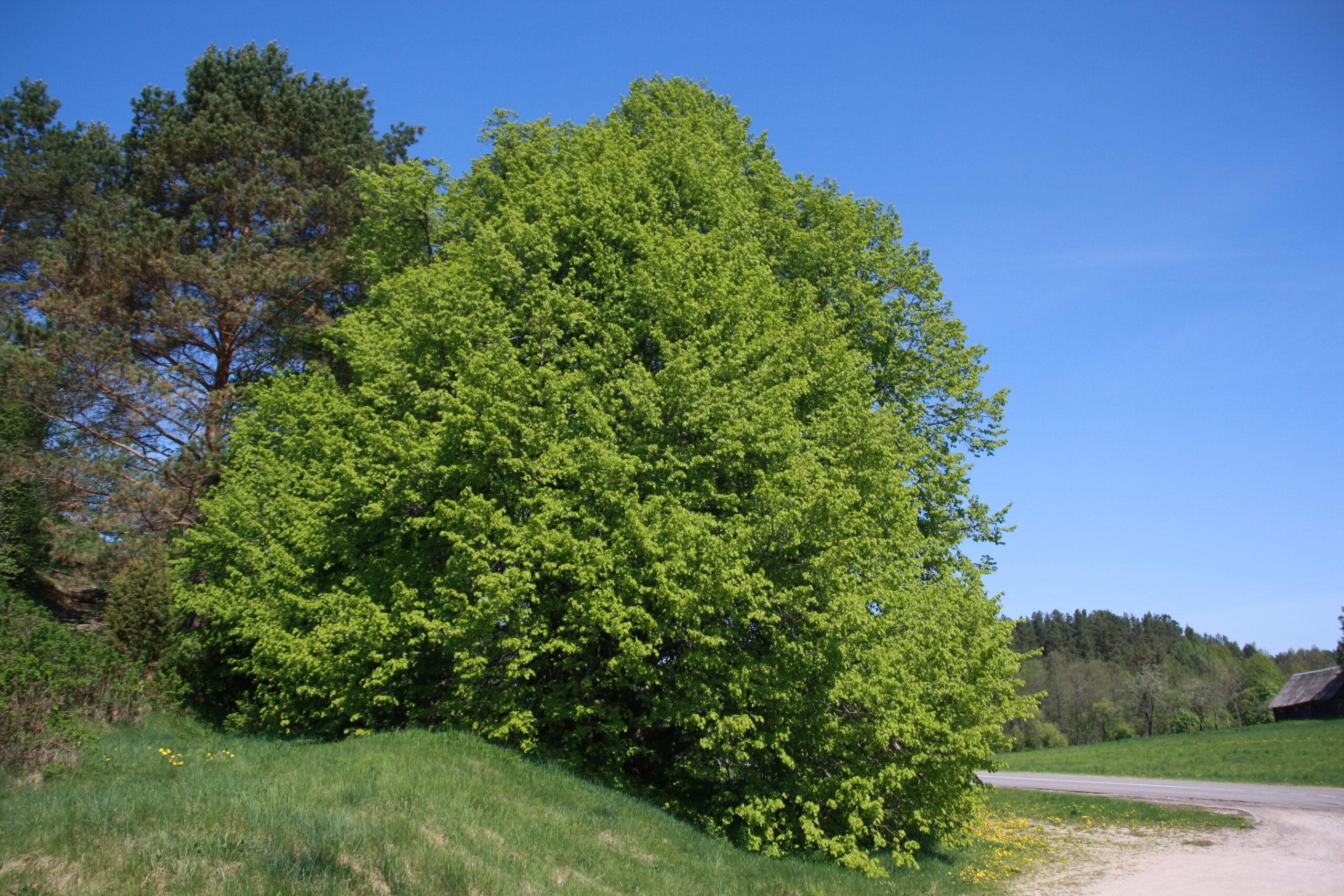 Liepa žaliuoja kaime.