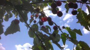 Vyšnios ant medžio.