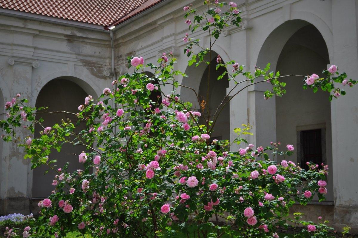 Rožių krūmas.