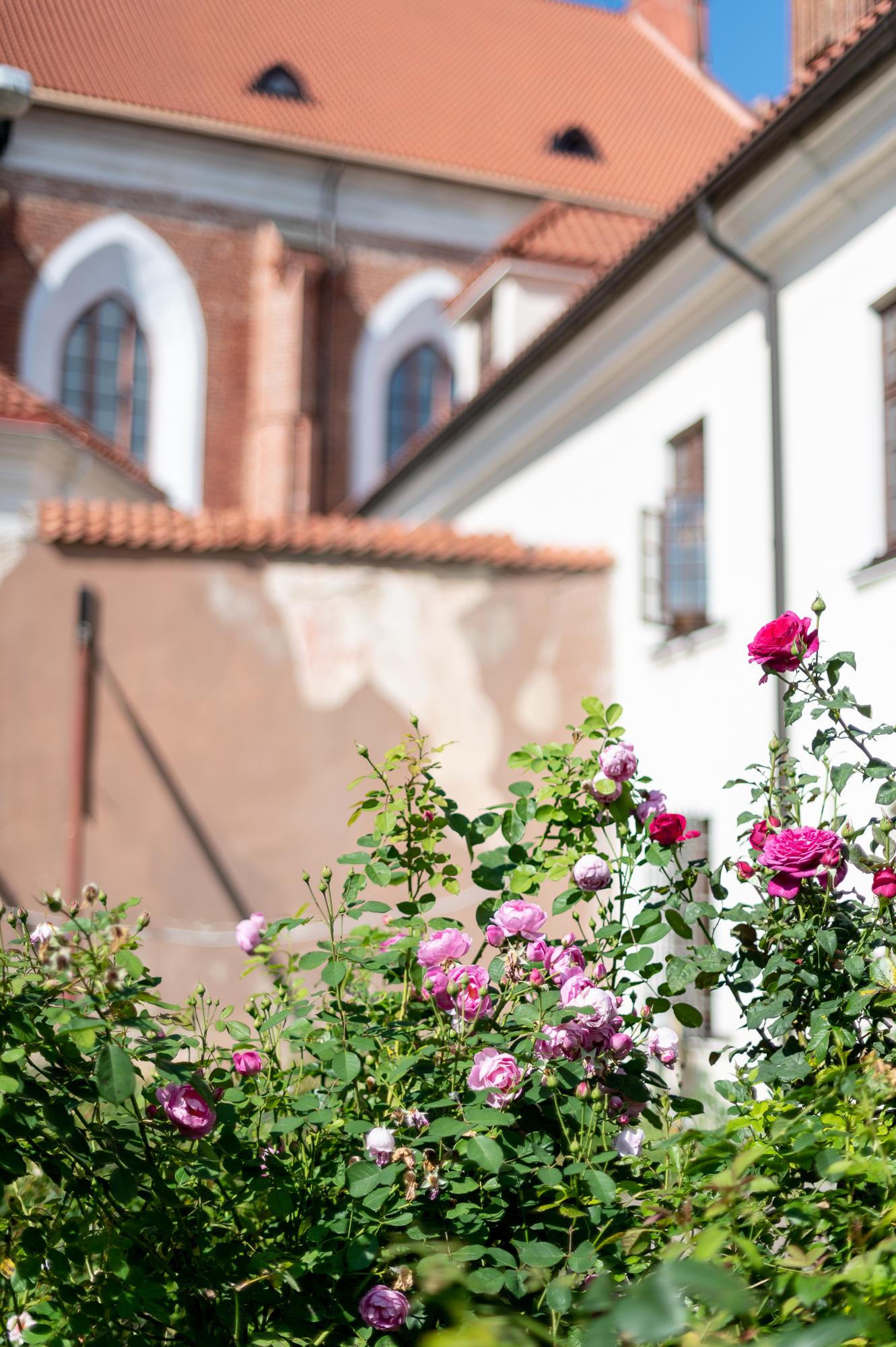 Bernardinų rožės ir architektūra.