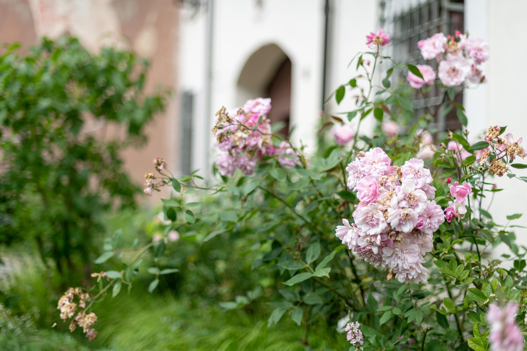 Rožės vienuolyne.