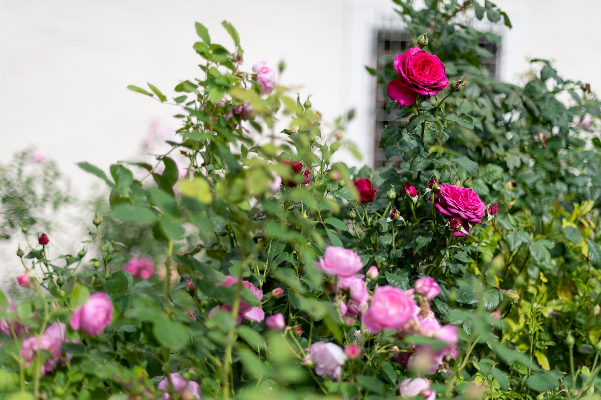 Rožės saulėje.