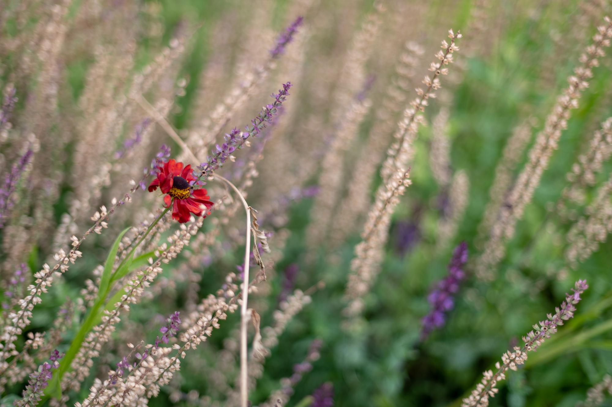 Gėlės žiedas pievoje.