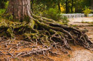 Medžio šaknys